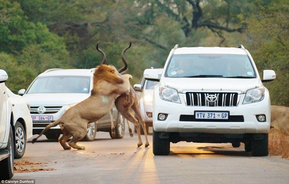 A lion catching an antelope on a busy road in South Africa.Photo Courtesy.. Carolyn Dunford