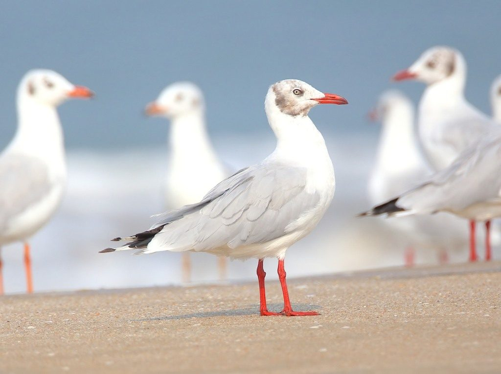 Brown Headed Gull at Arrossim beach Goa. Photo: IANS