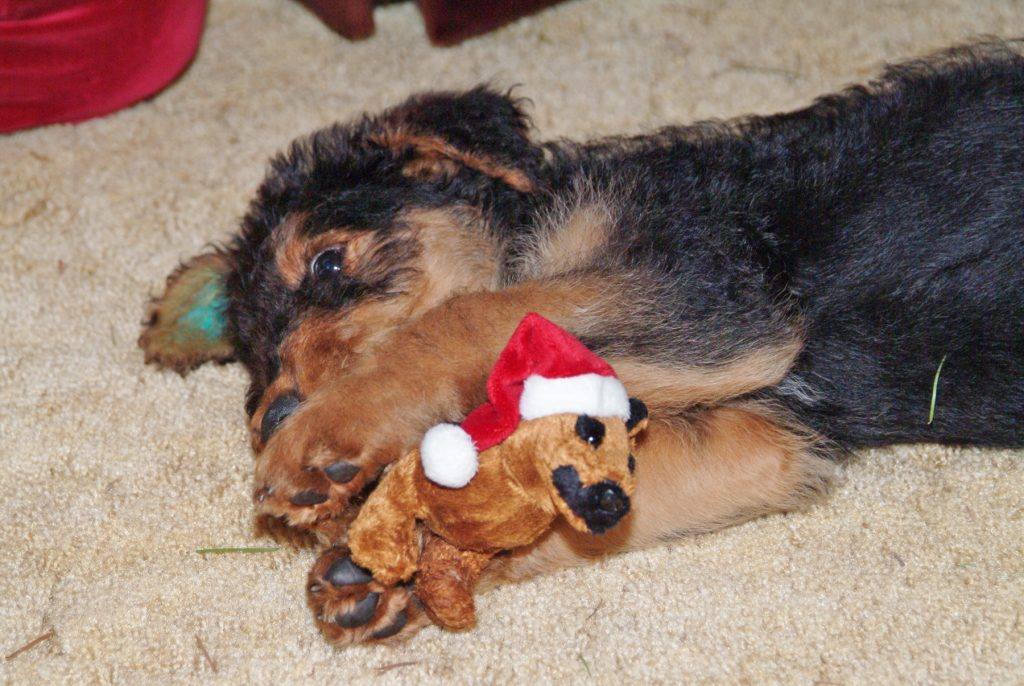 Fozzie gets a safe Christmas toy to enjoy.  Photo by Ray Hudson