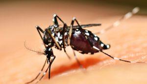 Adese (zika-bearing) mosquito