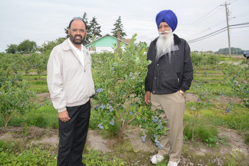 Gurdial S. Dale Badh and his father, Ajit Singh Badh, showing the berries are ready for the first pick of the season.