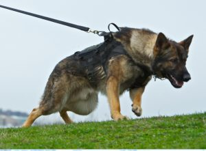 A police dog was brought in to assist with the search for the suspect.